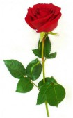 Роза Голландия, 100 см.