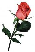 Роза Сочи Мордовия, 40 см.